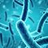 les espèces de bactéries principales